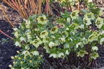 Helleborus x hybridus (Ashwood Garden Hybrids) Single pink picotee shades, Eranthus hyemalis