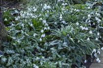 Arum italicum, cyclamen, Galanthus 'Percy Picton'