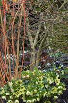 Cornus sanguinea 'Anny's Winter Orange', Helleborus x hybridus (Ashwood Garden Hybrids)