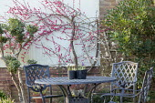 Prunus mume 'Beni-chidori', table and chairs on patio, Iris reticulata 'Painted Lady' and 'Blue Note' in pots