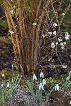 Viburnum farreri 'Candidissimum' underplanted with Galanthus 'Günter Waldorf' and Galanthus nivalis 'Alan's Treat'