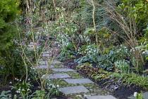 Paving slab and pebble path, snowdrops, Daphne mezereum