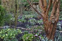 Acer griseum, Helleborus x hybridus, snowdrops