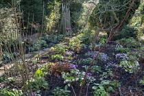 Helleborus x hybridus (Ashwood Garden Hybrids), Cyclamen coum, snowdrops