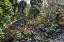 Cornus sanguinea 'Anny's Winter Orange', Helleborus x hybridus, Cyclamen coum, Magnolia stellata, log-edged bark path, Galanthus plicatus 'E.A. Bowles', Galanthus 'Dragonfly', Galanthus 'Copton Trym'...