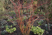 Cornus sanguinea 'Anny's Winter Orange', Helleborus x hybridus (Ashwood Garden Hybrids), Cyclamen coum, log-edged bark path
