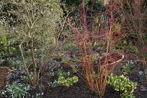 Cornus sanguinea 'Anny's Winter Orange', Helleborus x hybridus (Ashwood Garden Hybrids), Cyclamen coum, Magnolia stellata