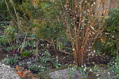Viburnum farreri 'Candidissimum' underplanted with Galanthus 'Günter Waldorf' and Galanthus nivalis 'Alan's Treat'