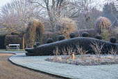 Topiarised yew hedge, frost on lawn