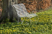 White metal bench and naturalised carpet of Eranthis hyemalis at base of tree
