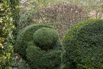 Clipped bird topiary, viburnum