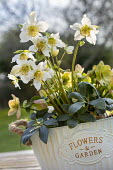 Helleborus niger in white metal pot