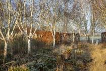 Betula utilis var. jacquemontii 'Grayswood Ghost', Stipa tenuissima, euphorbia, Cortaderia selloana 'Pumila'