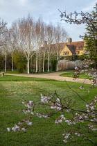 View across lawn to Betula utilis var. jacquemontii