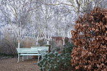 Betula utilis var. jacquemontii 'Grayswood Ghost', Fagus sylvatica f. purpurea hedge, Euphorbia characias subsp. wulfenii, benches