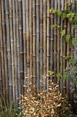 Bamboo screen, Corokia x virgata 'Welsh Whiskey'