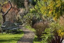 Gravel path, bench on lawn, Phormium 'Pink Stripe', Acacia dealbata, Wollemia nobilis, Cornus sanguinea 'Midwinter Fire'