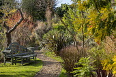 Gravel path, bench on lawn, Phormium 'Pink Stripe', Acacia dealbata, Wollemia nobilis, Cornus sanguinea 'Midwinter Fire'