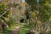 Arbutus unedo, Acacia dealbata, gravel path through narrow garden