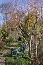 Wooden bench on lawn by gravel path, Cornus sanguinea 'Midwinter Fire', gravel path through narrow garden