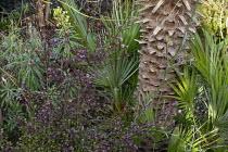 Lophomyrtus x ralphii 'Kathryn', Chamaerops humilis