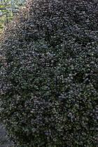 Lophomyrtus x ralphii 'Kathryn'