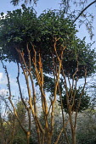 Multi-stemmed Luma apiculata syn. Myrtus luma