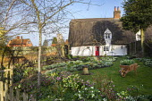 Helleborus x hybridus and snowdrops in front garden, thatched cottage, bird bath