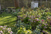 Helleborus x hybridus and snowdrops in front garden, moss-covered stone bench
