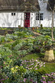 Helleborus x hybridus and snowdrops along path in front garden, thatched cottage, stone bird bath