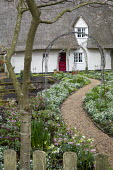 Helleborus x hybridus and snowdrops along path in front garden, thatched cottage