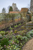 Helleborus x hybridus and snowdrops along path in front garden, step-over trained apple trees