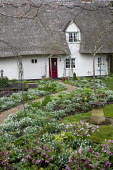 Helleborus x hybridus and snowdrops along path in front garden, thatched cottage, bird bath