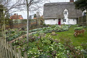Helleborus x hybridus and snowdrops in front garden, stone bird bath, thatched cottage