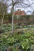 Helleborus x hybridus and snowdrops along path in front garden