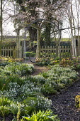 Helleborus x hybridus and snowdrops along path in front garden, wooden archway