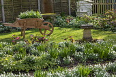 Helleborus x hybridus and snowdrops in front garden, snowdrops in wooden wheelbarrow, stone bird bath