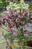 Hellebores in terracotta pots