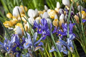 Iris reticulata and crocuses in pots