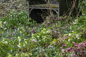 Wooden arbour in corner of shady walled garden, Helleborus x hybridus, snowdrops