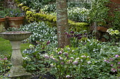 Stone bird bath, Helleborus x hybridus and snowdrops in front garden