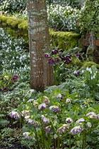 Helleborus x hybridus and snowdrops in front garden