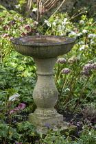 Stone bird bath, Helleborus x hybridus