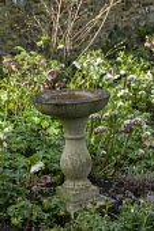 Stone bird bath, Helleborus x hybridus, Eranthis hyemalis, pulmonaria