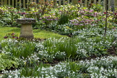 Drift of snowdrops, Helleborus x hybridus, bird bath on lawn
