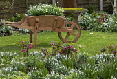 Helleborus x hybridus and snowdrops in front garden, snowdrops in wooden wheelbarrow