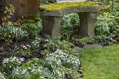 Snowdrops in border around moss covered bench
