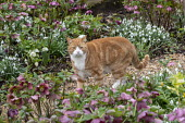 Cat on gravel path amongst hellebores and snowdrops