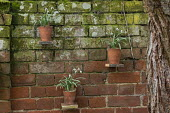Display of snowdrops in terracotta pots on shelves on brick wall