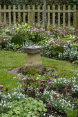 Snowdrops, Helleborus x hybridus, bird bath on lawn